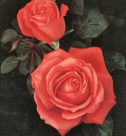 Tropicana Hybrid Tea Rose - 1 bare root plant