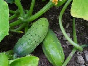 Cucumber, Boston Pickling