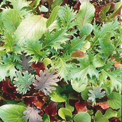 Tangy Mesclun Mix Leaf Lettuce