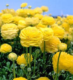 Yellow Tecolote® Ranunculus - 10 bulbs