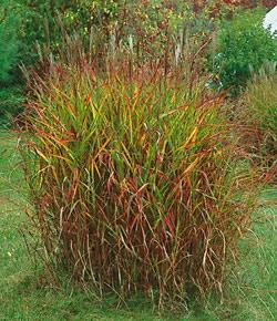 Purpurascens Flame Grass - 3 plugs