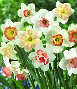 SOLD OUT Pink Mix Daffodils - 10 bulbs