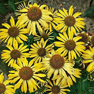 Cleopatra Echinacea Coneflower Plant