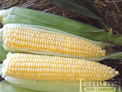 Supersweet Jubilee Corn