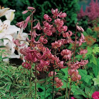 Lilium Martagon Lily Bulbs