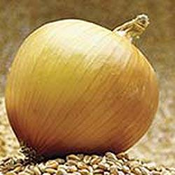 Copra Hybrid Onion
