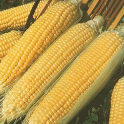 Kandy Korn (se) Hybrid Sweet Corn