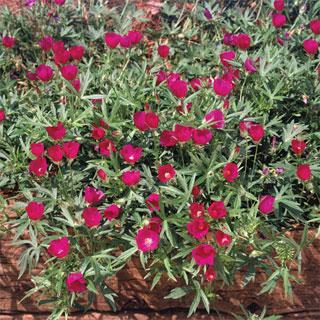 Callirhoe involucrata Purple Poppy Mallow Plant