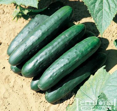 Raider Cucumbers