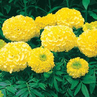 Marigold Antigua Primrose Hybrid