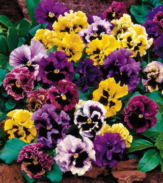 Pansy 'Flirty Skirts Mix'