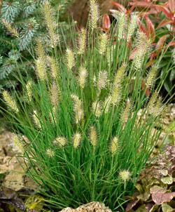 SOLD OUT Little Bunny Pennisetum Grass - 3 plugs