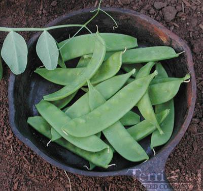 Oregon Sugar Pod II Peas