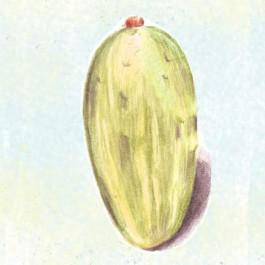 Boothby's Blonde Cucumber