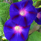 Grandpa Ott's Morning Glory