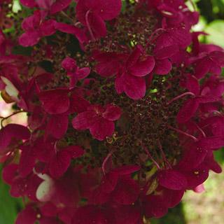 Fire and Ice Hydrangea paniculata Shrub