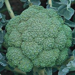 Arcadia Hybrid Broccoli