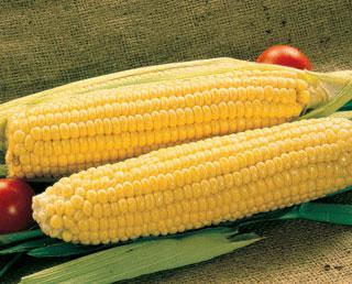 Corn Merit Hybrid