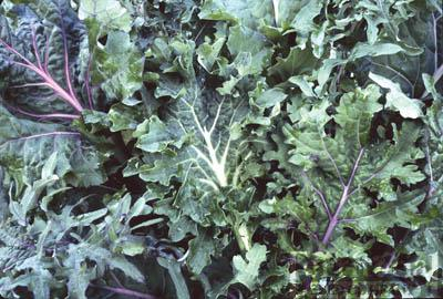 Wild Garden Kales