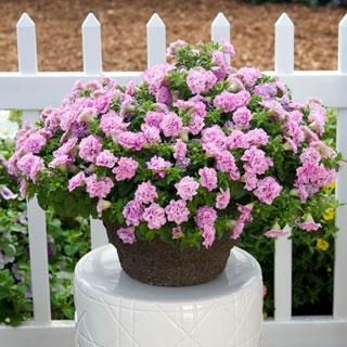 Surfinia® Summer Double Pink Petunia Plants