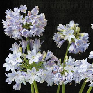 Summer Skies Agapanthus africanus African Lily Plant