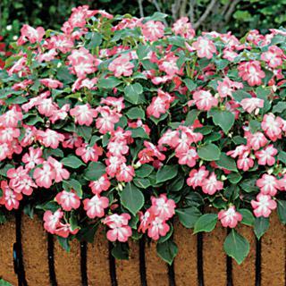 Impatiens Sunny Lady Cranberry Hybrid
