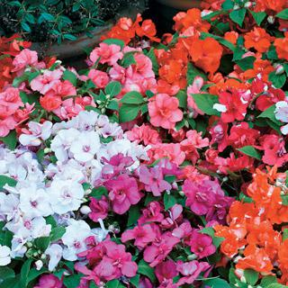 Impatiens 'Athena Mix'