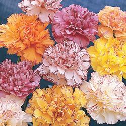 Carnations c. 'Stripes & Picotees'