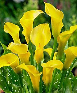 Lemon Drop Callafornia Calla® Calla Lily - 3 tubers