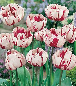 SOLD OUT Carnival De Nice Double Late Tulip - 10 bulbs