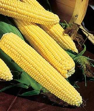 Corn, Northern Xtra-Sweet Hybrid