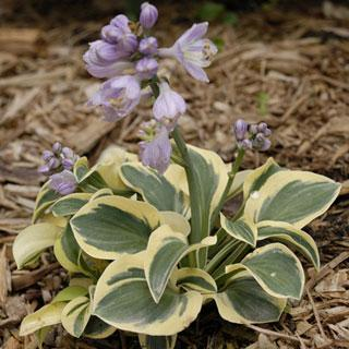 Mighty Mouse Hosta Plant