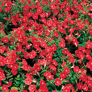 Petunia Avalanche Red Improved Hybrid