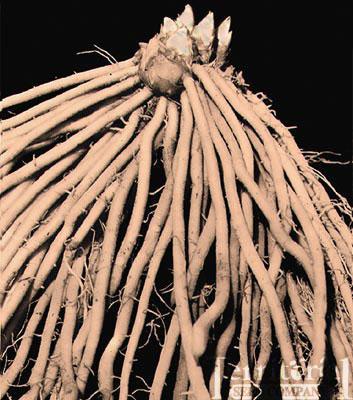 Jersey Supreme Asparagus Crowns