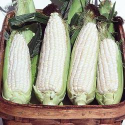Silver Queen (su) Hybrid Sweet Corn
