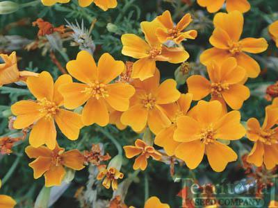 Marigold-Tangerine Gem