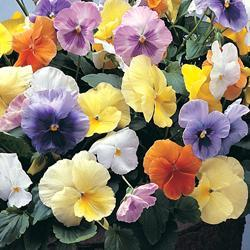 Pansy x w. 'Water Colors Mixed' F1 Hybrid