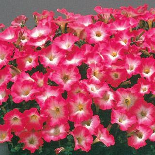 Petunia Celebrity Pink Morn