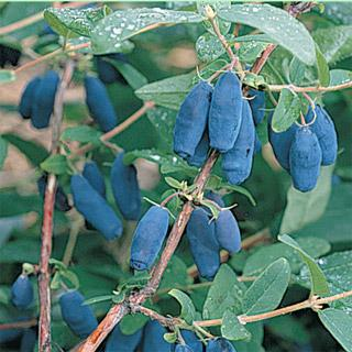 Blue Velvet® Honeyberry Plant