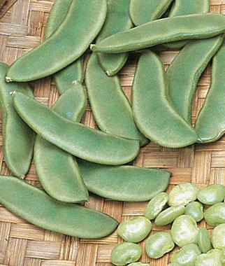 Bean, Lima  Burpee's Bush