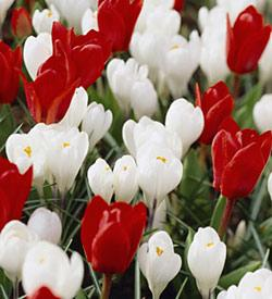 SOLD OUT Red and White Delight Bulb Collection -100 bulbs