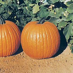 Gurney's Giant Magic Hybrid Pumpkin