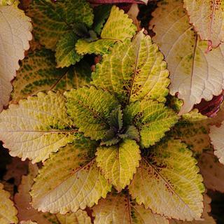 Honey Crisp Coleus Plants