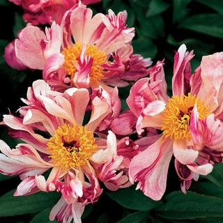 Pink Spinners Paeonia Peony Plant