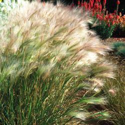 Grasses Hordeum jubatum