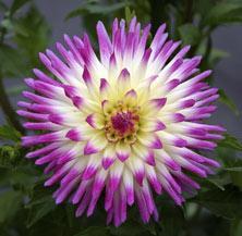 Hayley Jane Cactus Dahlia - 3 root divisions