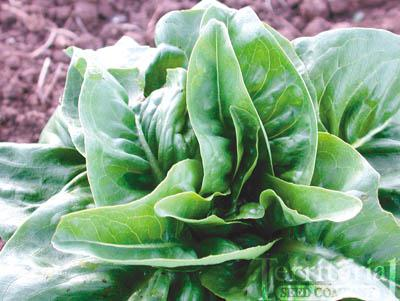 Green Deer Tongue Lettuce Organic