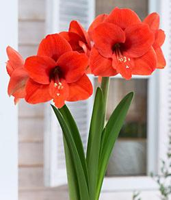 Naranja Jumbo Amaryllis - 1 bulb