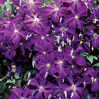 Galore™ Clematis Plant