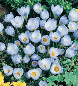 SOLD OUT Blue Pearl Species Crocus - 10 bulbs